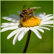 Bijen en bijensteken