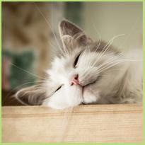 Kattenkrabziekte. Hoe voorkom je een besmetting?
