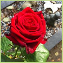 Vandaag leg ik verse rozen neer... #blog61