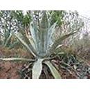 Giftige kamerplanten  - Agave