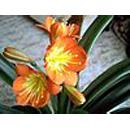 Giftige kamerplanten  - clivia
