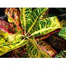Giftige kamerplanten  - croton