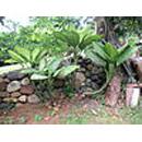 Giftige kamerplanten  - dieffenbachia