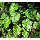 Giftige kamerplanten  - philodendron