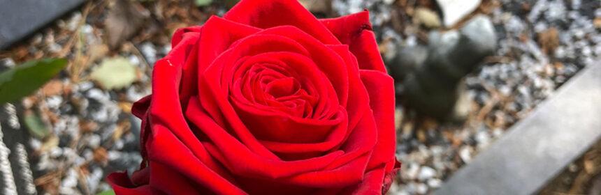 Vandaag leg ik verse rozen neer...