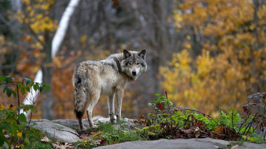 Ontmoeting met een Wolf