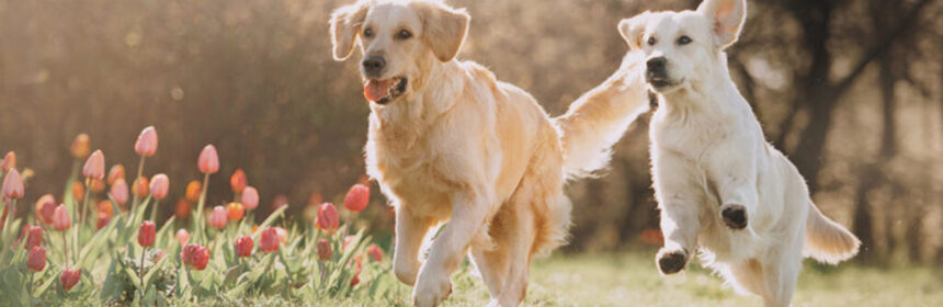 Welke hondenrassen zijn ideaal voor een gezin?