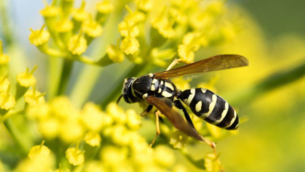Wespen en wespensteken, een pijnlijke kennismaking